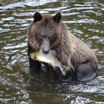 Grizzly Bear Safari, Telegraph Cove